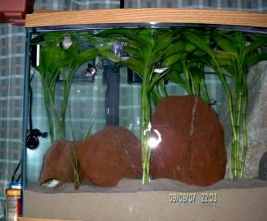 40 gallons freshwater fish tank (mostly fish and non-living decorations) - My 1st fish was my green spotted pufferfish.