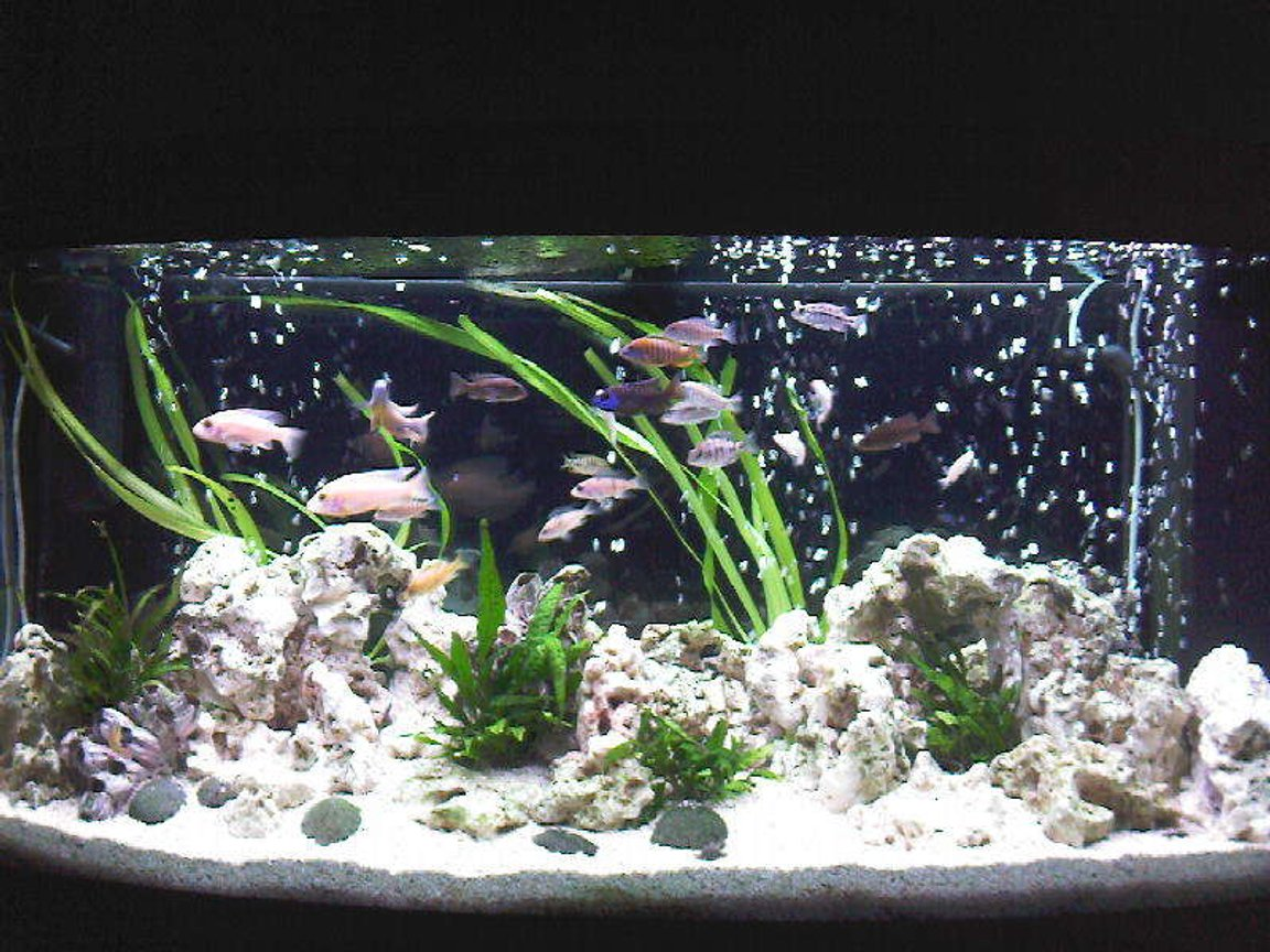 58 gallons freshwater fish tank (mostly fish and non-living decorations) - My African Cichlid Tank.