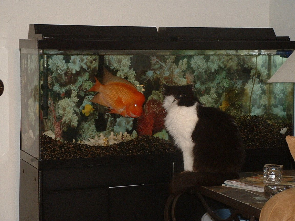 55 gallons freshwater fish tank (mostly fish and non-living decorations) - Otis Red Devil Cichlid and Silvester the Cat