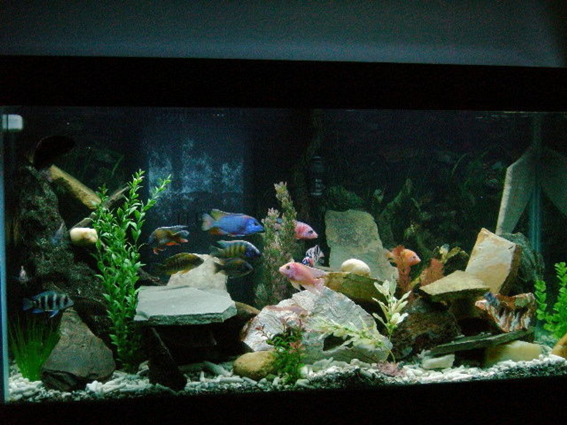 90 gallons freshwater fish tank (mostly fish and non-living decorations) - Cichlid Paradise