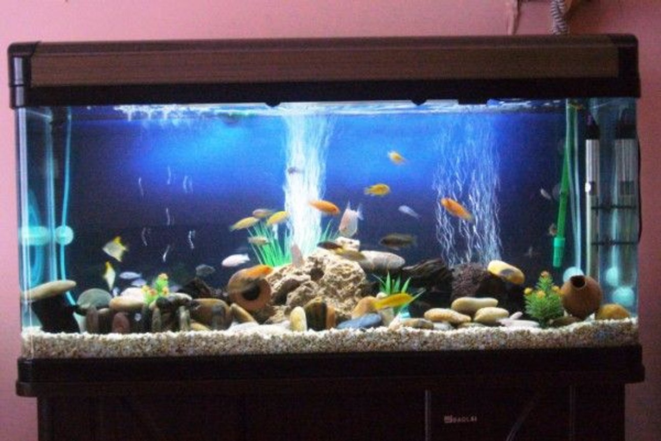 60 gallons freshwater fish tank (mostly fish and non-living decorations) - cichi