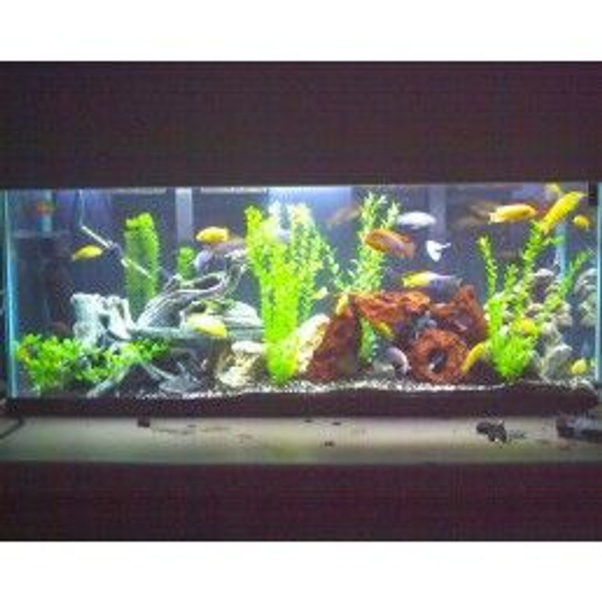 55 gallons freshwater fish tank (mostly fish and non-living decorations) - cichlids