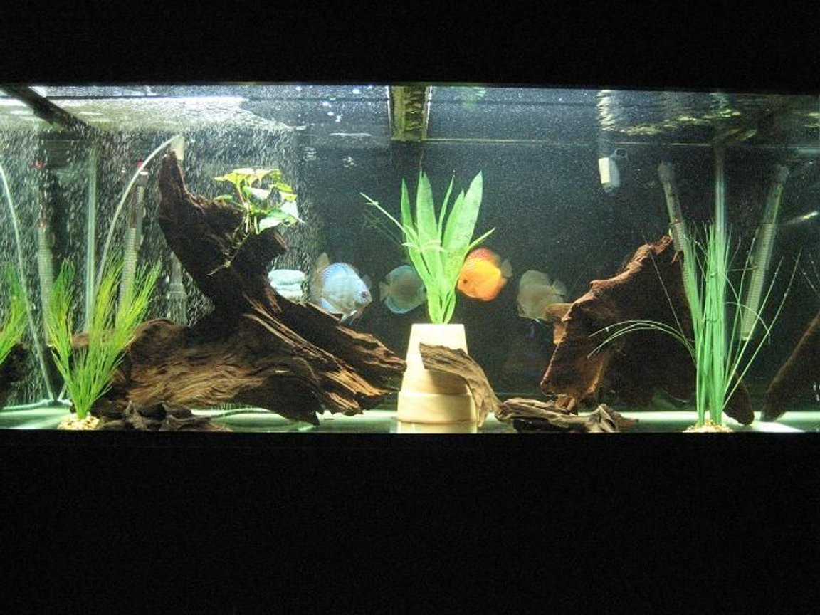 110 gallons freshwater fish tank (mostly fish and non-living decorations) - My 110 gallon with discus :)