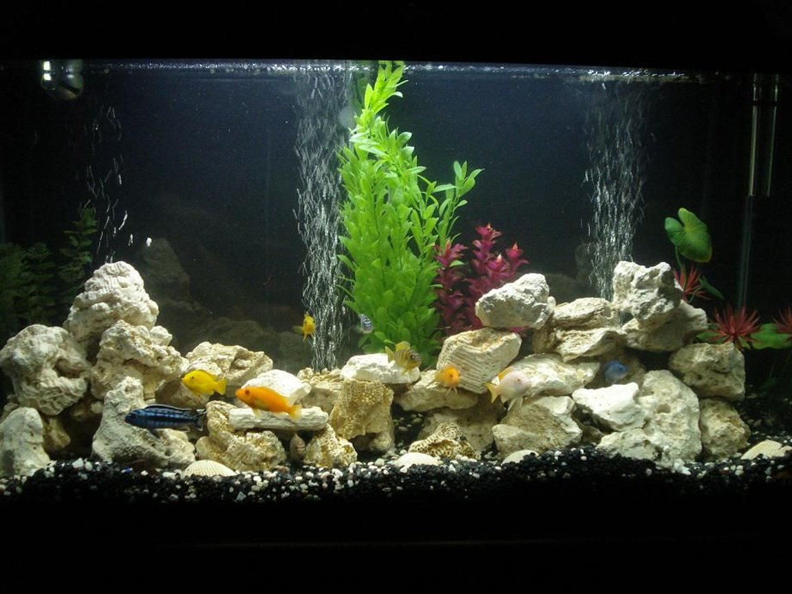 40 gallons freshwater fish tank (mostly fish and non-living decorations) - cichlid tank complete