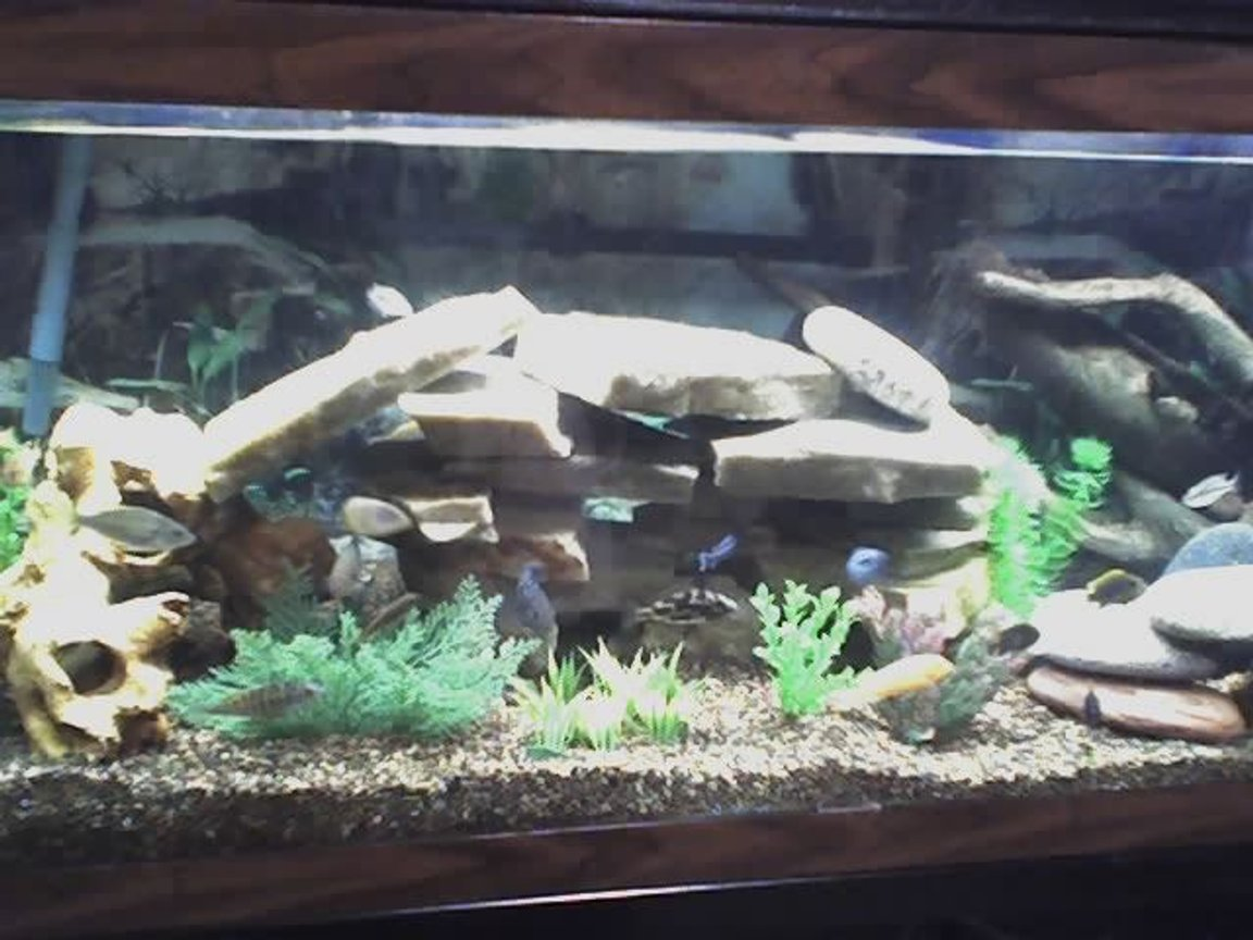 75 gallons freshwater fish tank (mostly fish and non-living decorations) - 75 Gallon with Mostly African Cichlids