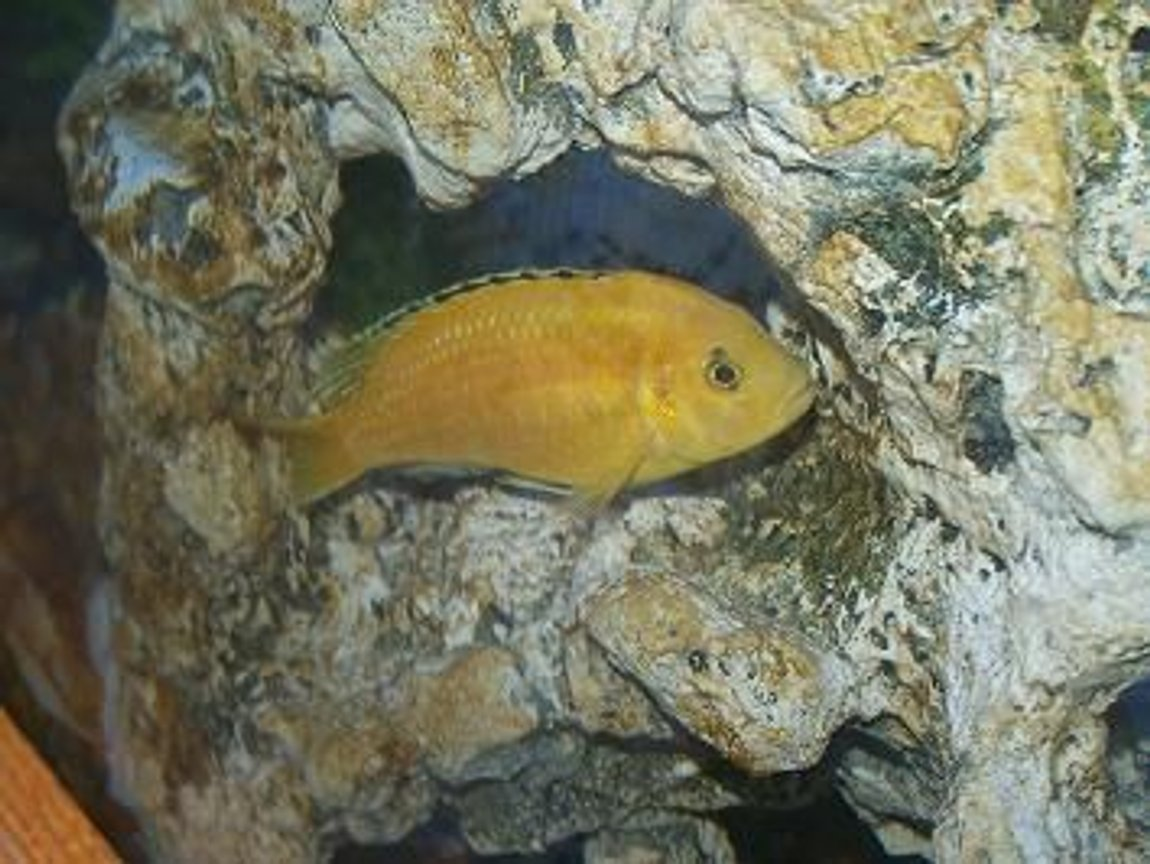 90 gallons freshwater fish tank (mostly fish and non-living decorations) - electric yellow