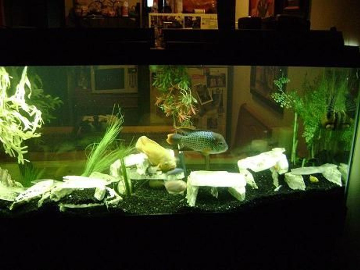 120 gallons freshwater fish tank (mostly fish and non-living decorations) - Oscar,Green Terror,Frontosa, albino Sunshine Peacock ,Glaxy Pleco,common Pleco,Yellow Lab, Blue Colbolt, cherry Red Zebra, 120 gl