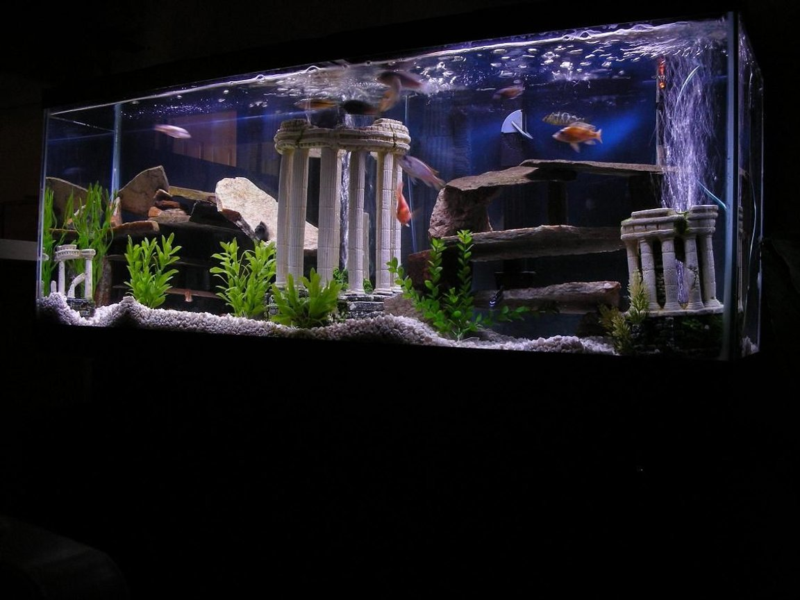 50 gallons freshwater fish tank (mostly fish and non-living decorations) - 12 Misc African Cichlids 1 blood parrot 1 jack dempsy 1 blue lobster