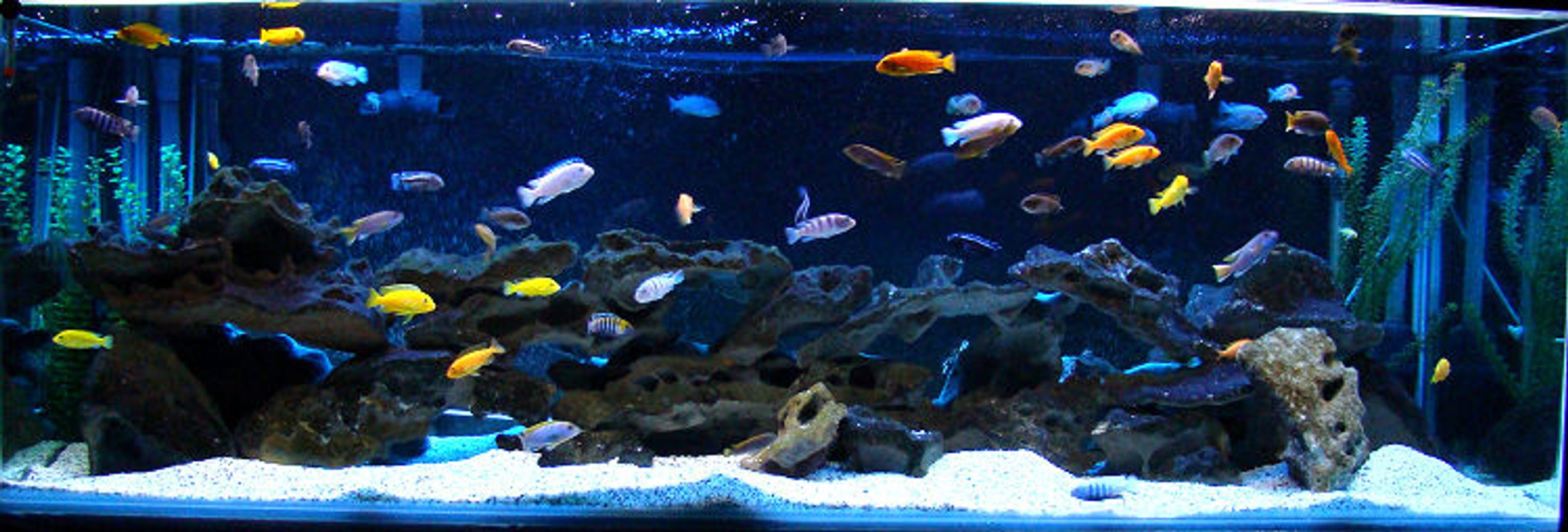 180 gallons freshwater fish tank (mostly fish and non-living decorations) - 180g Mbuna Aquarium