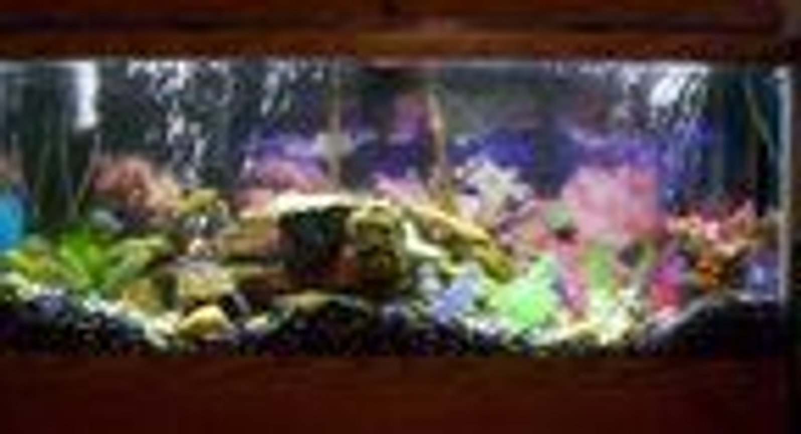 75 gallons freshwater fish tank (mostly fish and non-living decorations) - 75 Gallon African Cichlid Tank