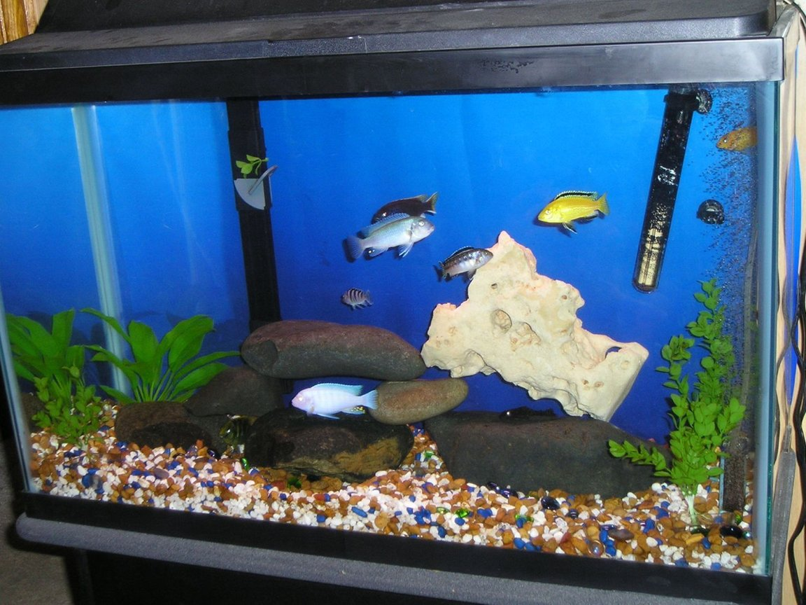 freshwater fish tank (mostly fish and non-living decorations) - This is my 30 gallon cichlid tank. It has 1 yellow lab, 1 red zebra, 1 albino, 1 cobalt, 1 Acei, 1 kenyi, 1 giraffe cichlid, 1 that I don't know the name of & the pleco won't be in there much longer