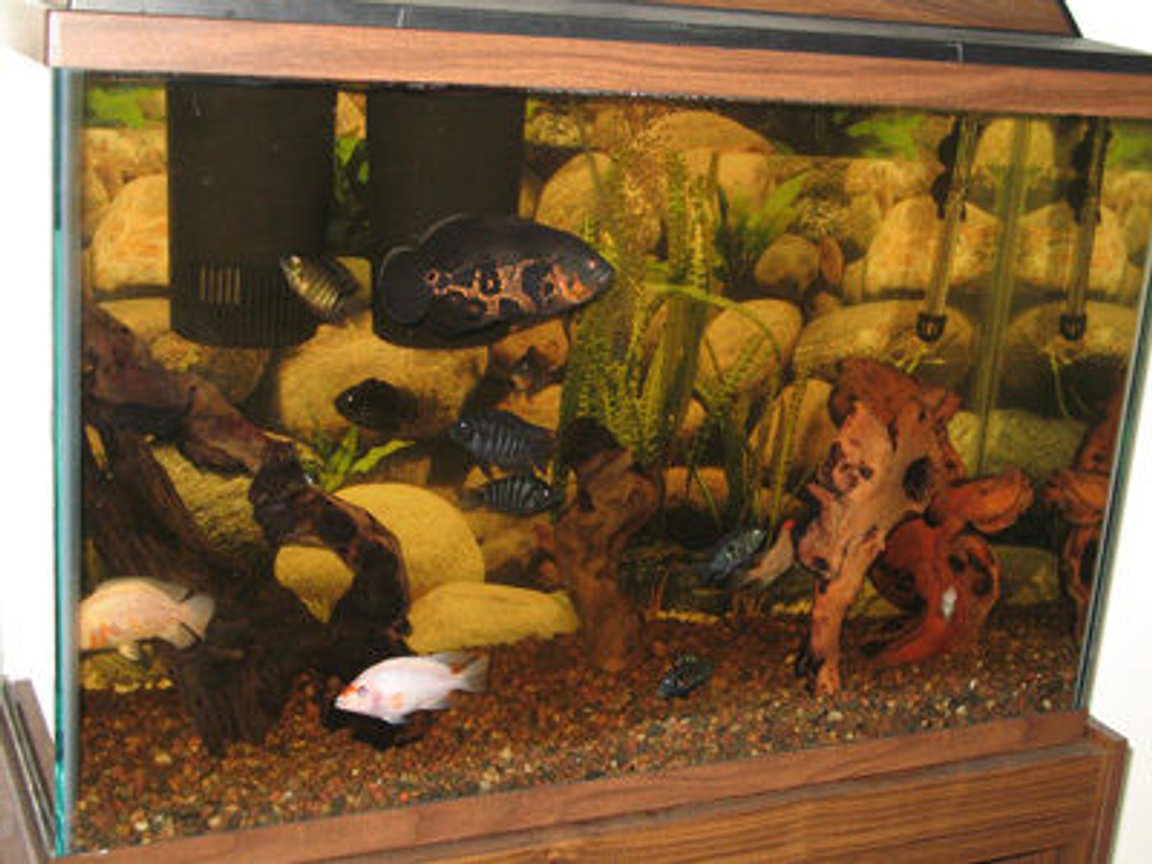 45 gallons freshwater fish tank (mostly fish and non-living decorations) - American cichlids w/mopani driftwood decor in 45 gallon tall