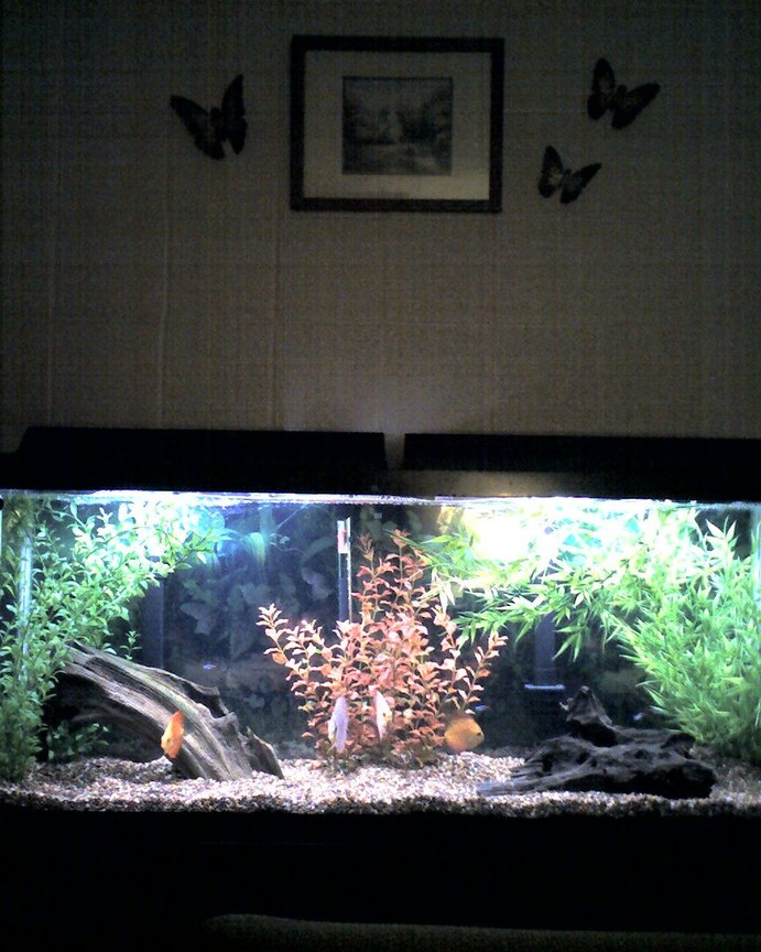 55 gallons freshwater fish tank (mostly fish and non-living decorations) - 55 gal discus tank