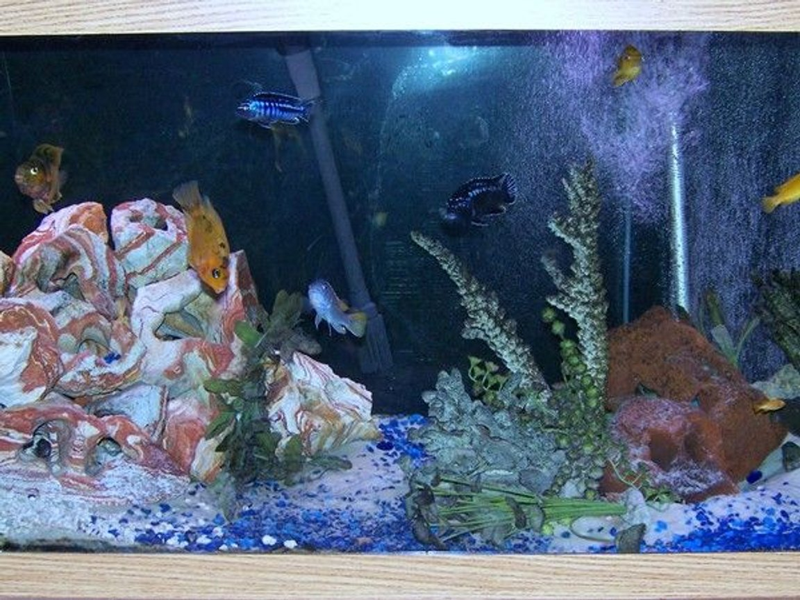 75 gallons freshwater fish tank (mostly fish and non-living decorations) - African Cichlids