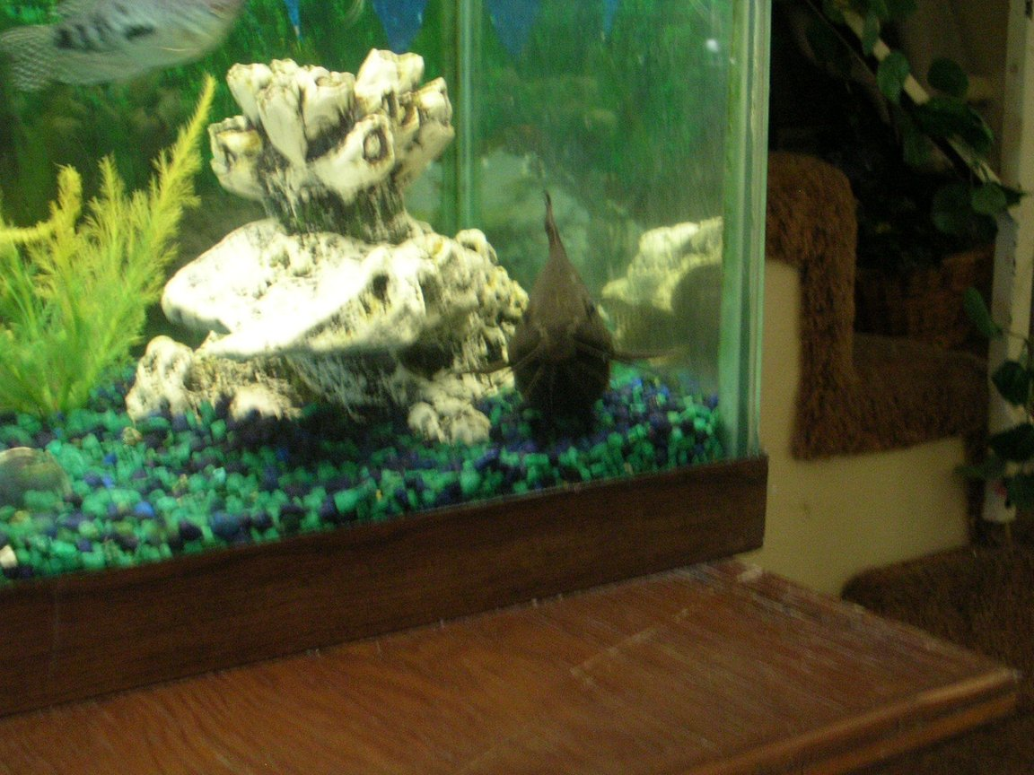 55 gallons freshwater fish tank (mostly fish and non-living decorations) - fance father catfish