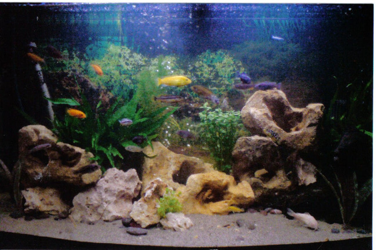 50 gallons freshwater fish tank (mostly fish and non-living decorations) - Malawi Cichlids, mixed