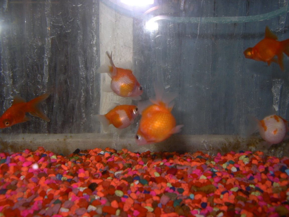 75 gallons freshwater fish tank (mostly fish and non-living decorations) - pearl scale gold fish