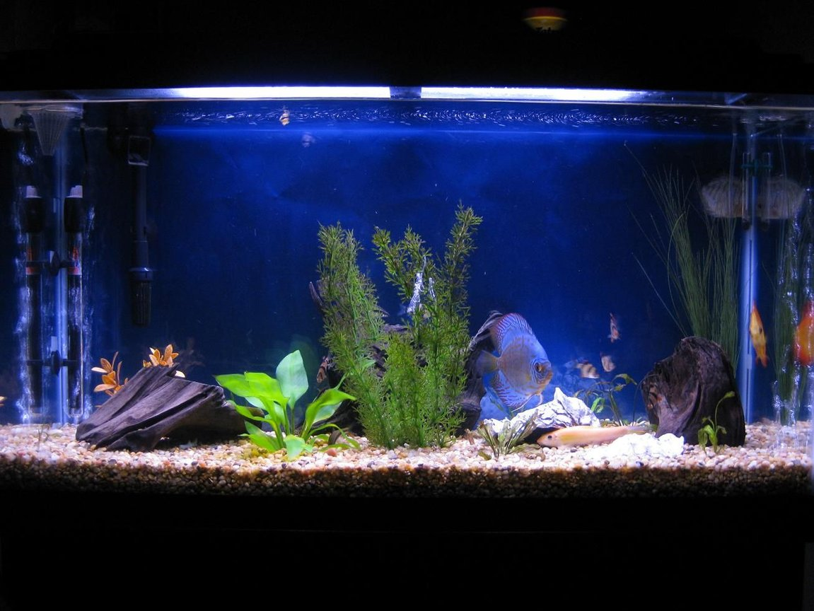 38 gallons freshwater fish tank (mostly fish and non-living decorations) - Discus My 38 Gallon Aquarium, 3 Discus, 6 Tiger Barbs, 3 Chinese Algae Eaters, one Gold Nugget Pleco, and a Gold Chinese Algae Eater. I'm using a Marineland C-Series Multi Stage Canister Filter C-220, the best fiter out there. I personaly think this filter is better then the Eheim, because it allows no bypass, it forces the water through the filter media trays and not around them, all the other canisters allow 40% to 60%.
