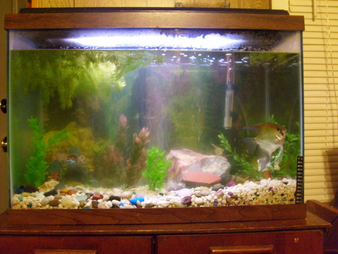 65 gallons freshwater fish tank (mostly fish and non-living decorations) - this is my 30gl Angle Fish tank. filtered with Wisper and decorated with basic rock and a mixtrue of live and atifical plants