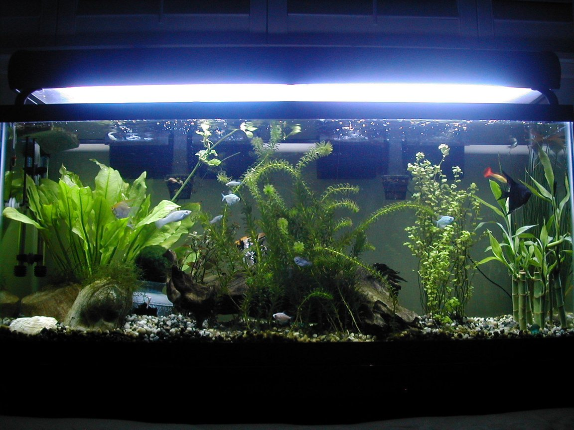 "55 gallons freshwater fish tank (mostly fish and non-living decorations) - Nice plant set-up (1 of many) I had goin in my tank. I took this picture shortly before ""El Patron"" aka ""The Boss"" died from internal infections (bloat) -- You can see he's the big angelfish kinda hiding in the back. RIP"