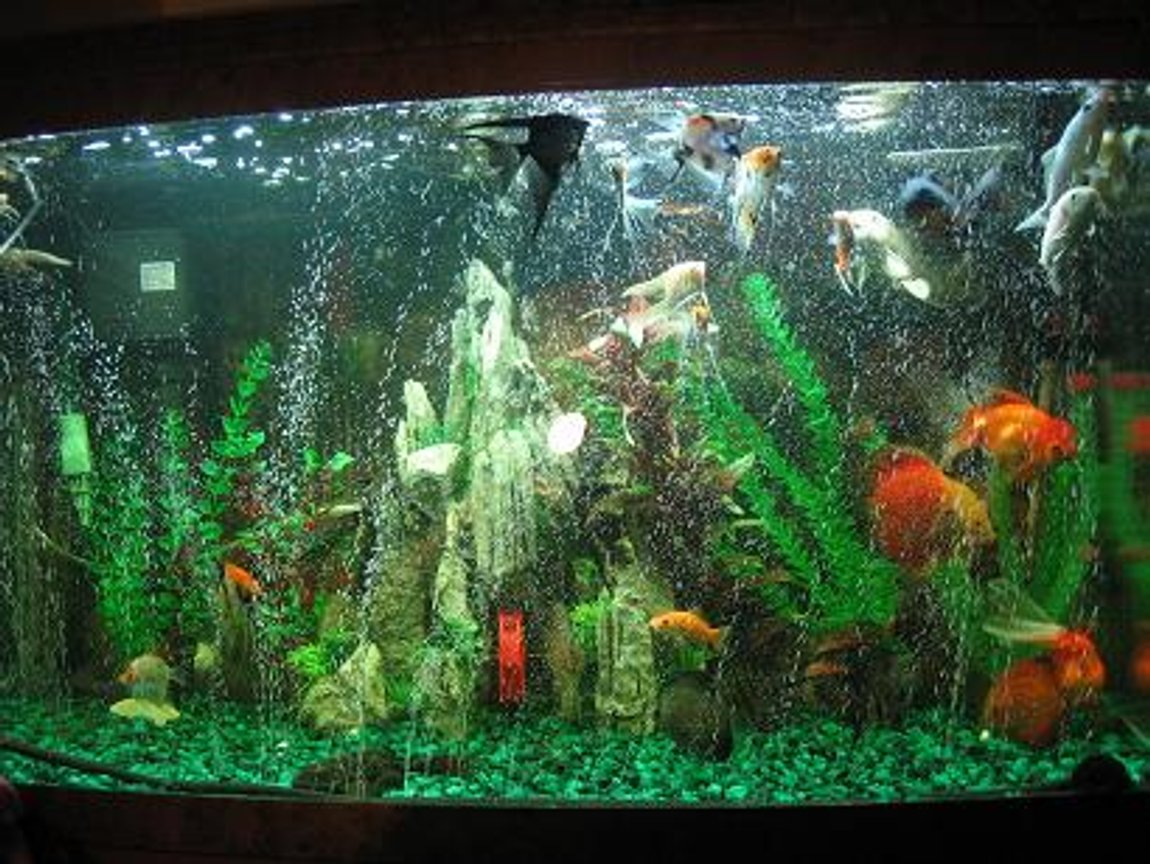 60 gallons freshwater fish tank (mostly fish and non-living decorations) - Just a little something of one of my tank
