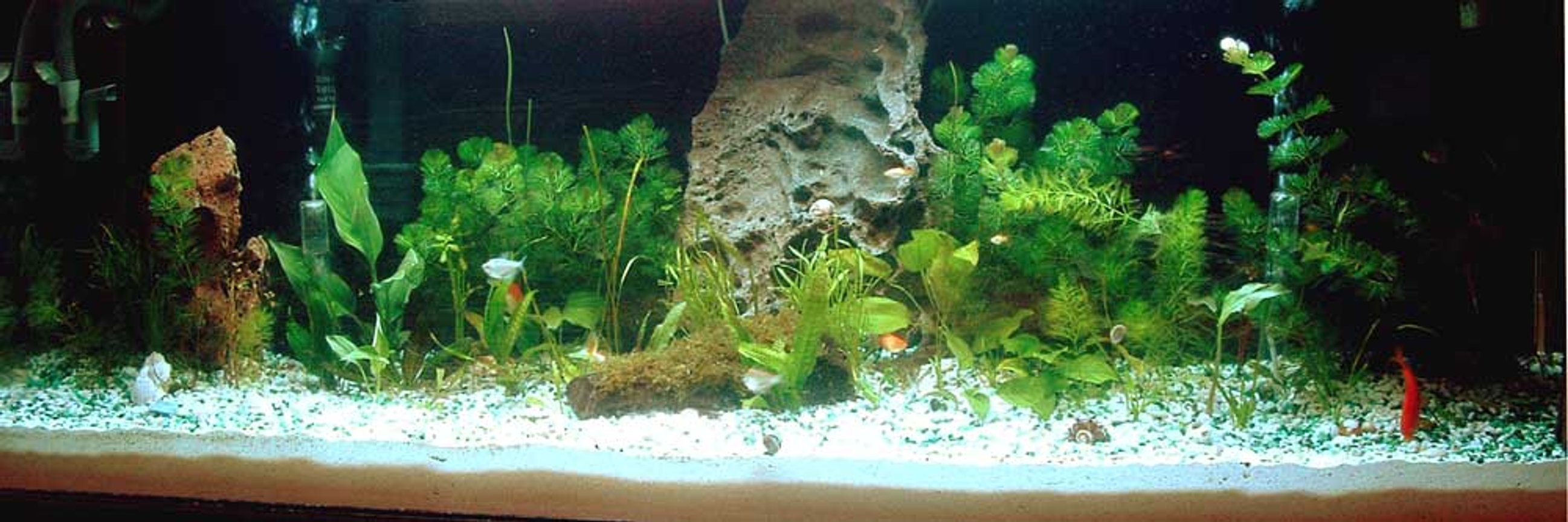 100 gallons freshwater fish tank (mostly fish and non-living decorations) - 2-week old 100 Gallon Community Fish Tank - Jan 26, 06.