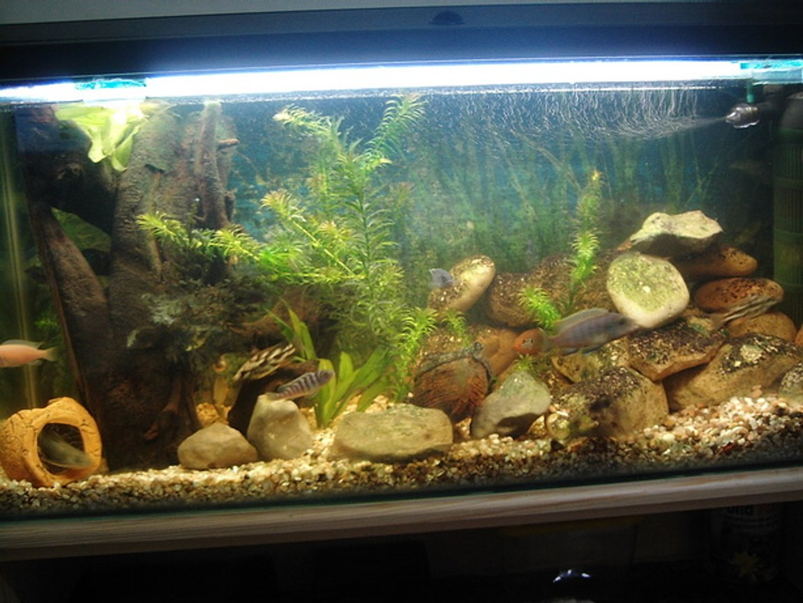 30 gallons freshwater fish tank (mostly fish and non-living decorations) - Cichlid Community