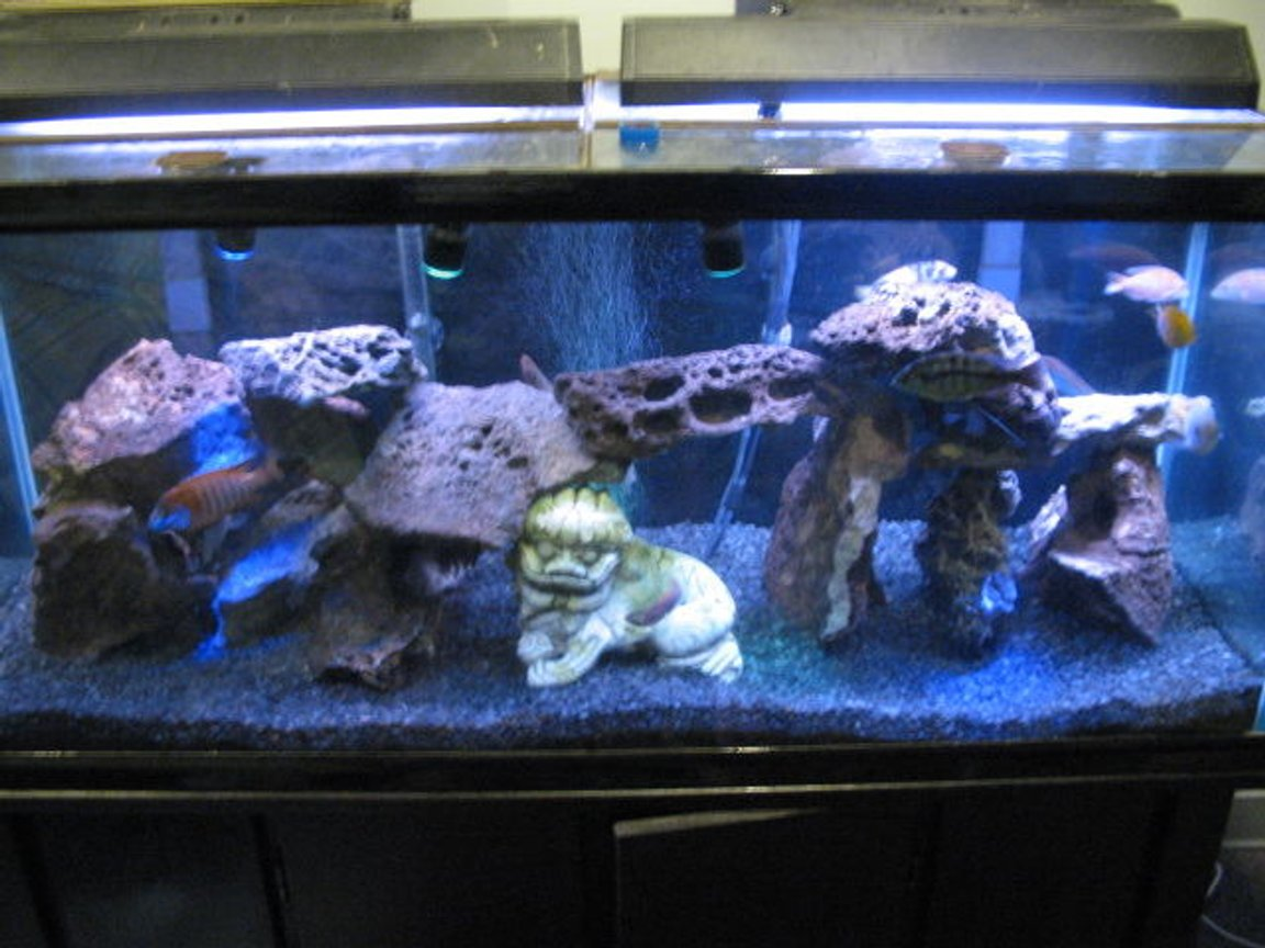 75 gallons freshwater fish tank (mostly fish and non-living decorations) - Mixed African Cichlid(lake malowi)