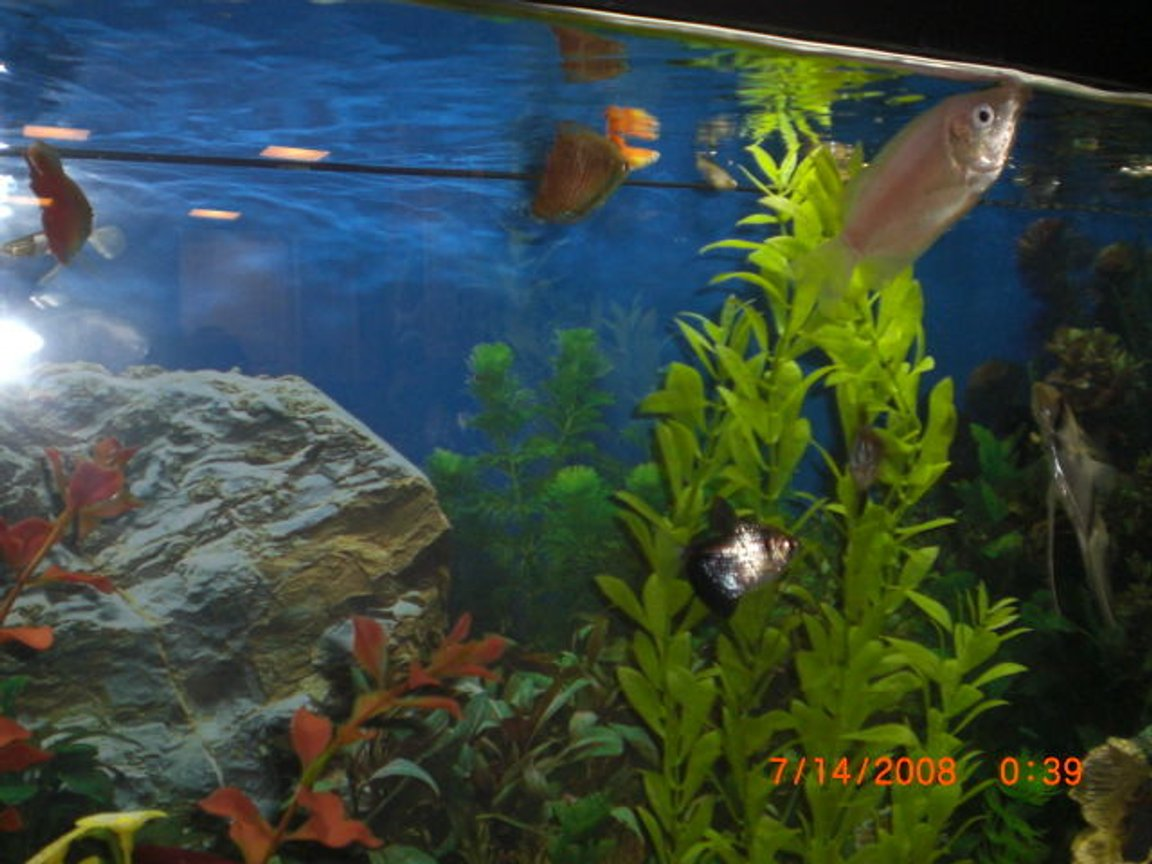 55 gallons freshwater fish tank (mostly fish and non-living decorations) - kissing
