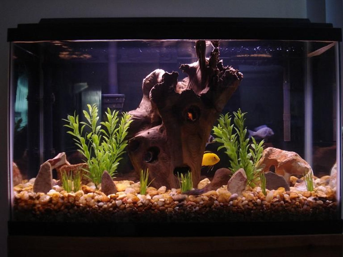 29 gallons freshwater fish tank (mostly fish and non-living decorations) - Cichlid Tank