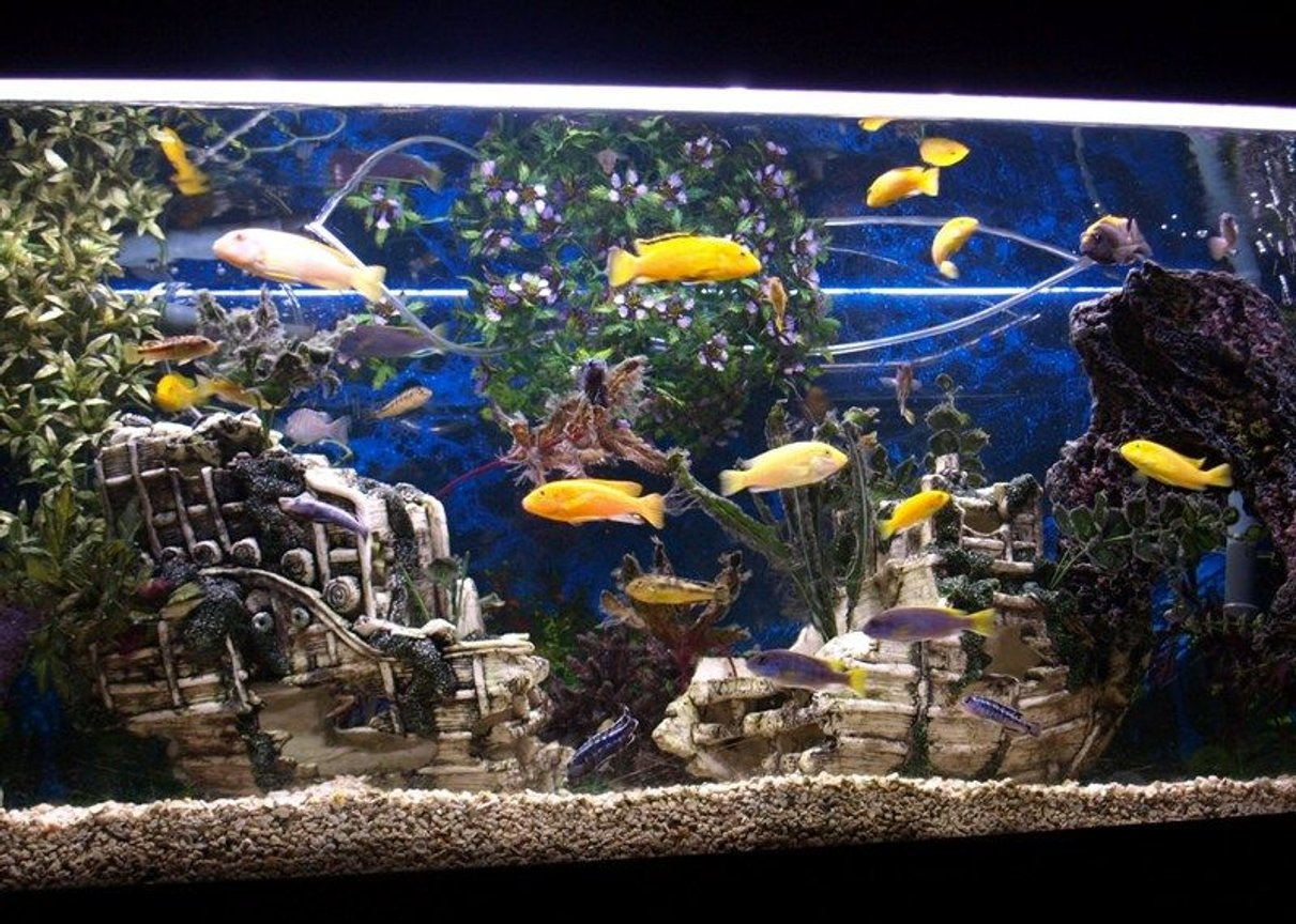 65 gallons freshwater fish tank (mostly fish and non-living decorations) - My 65 Gallon Eheim Cichlid tank