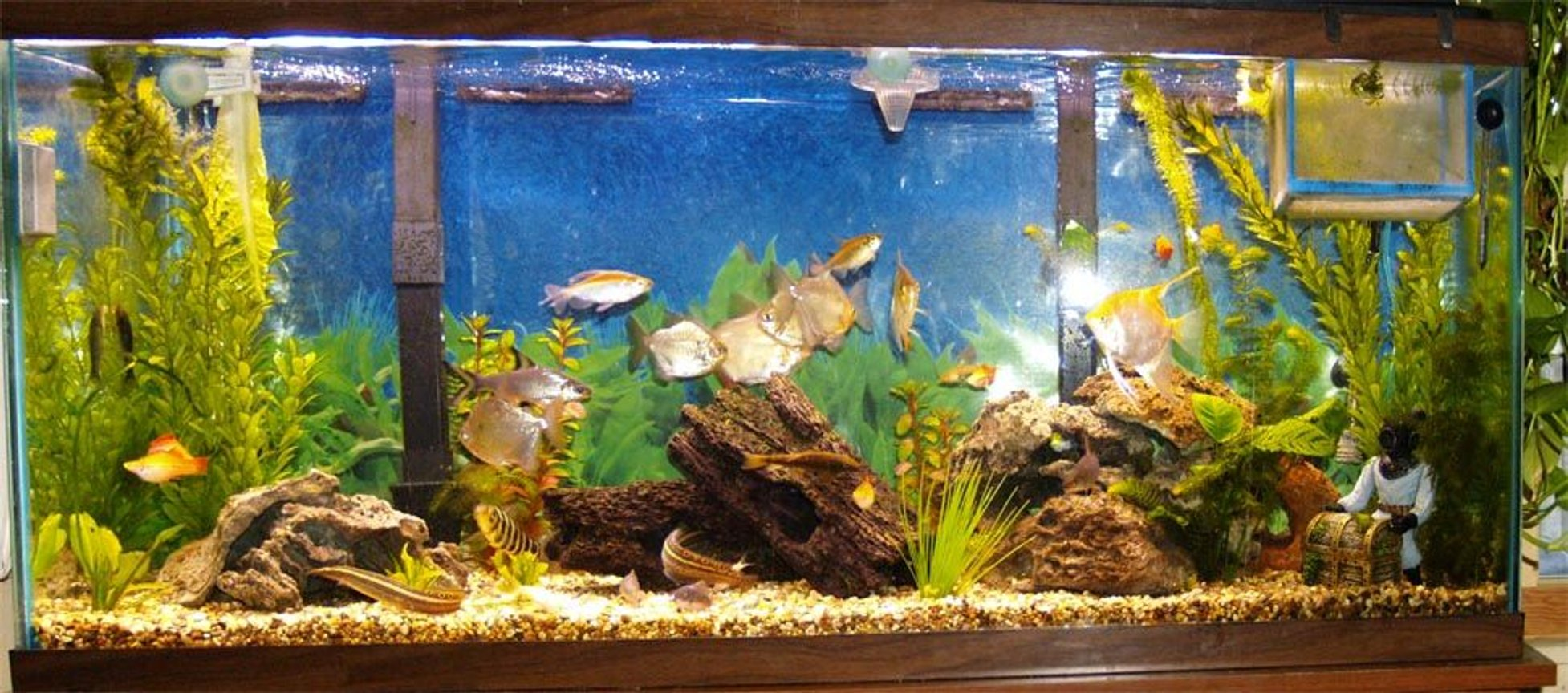 55 gallons freshwater fish tank (mostly fish and non-living decorations) - My 8 month old fresh water 55gal tank