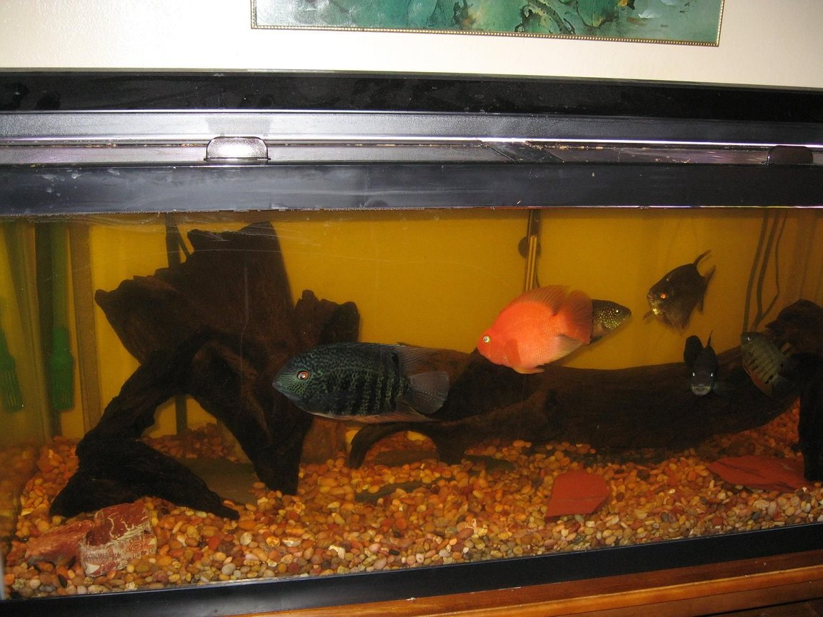 75 gallons freshwater fish tank (mostly fish and non-living decorations) - view of the tank