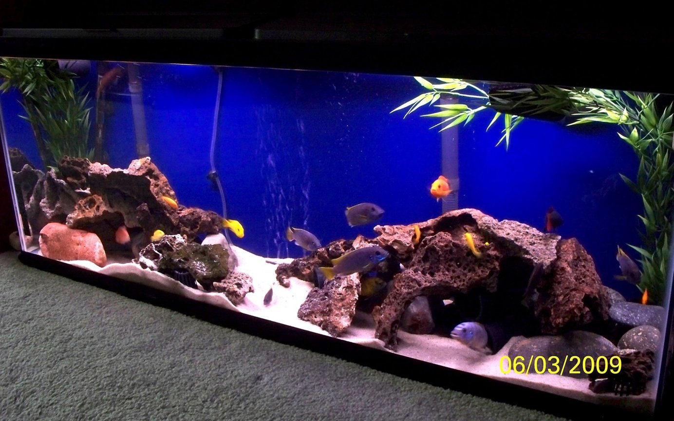 55 gallons freshwater fish tank (mostly fish and non-living decorations) - Busy African Mbuna tank. Fish: Red Zebra, Yellow Labs, Acei, Hongi, Rainbow Shark and a bunch of young fry.