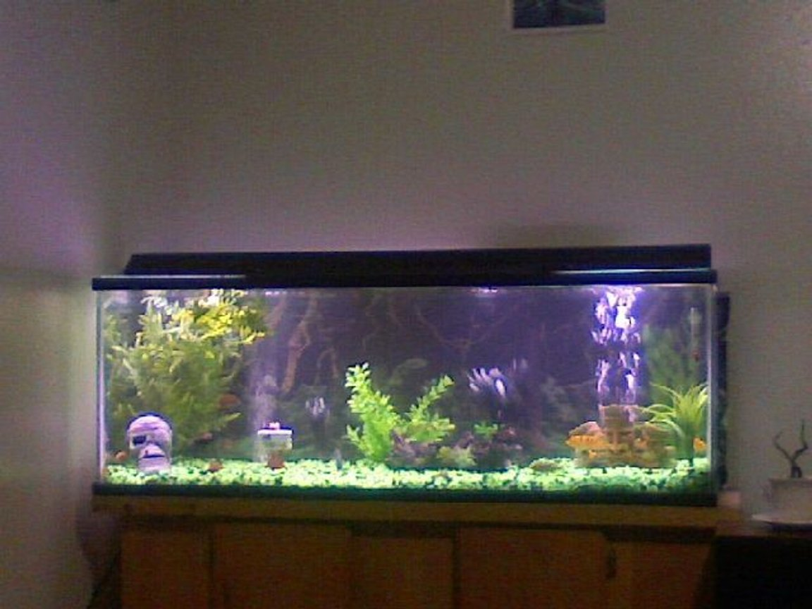 60 gallons freshwater fish tank (mostly fish and non-living decorations) - 60 gallon fresh water tank. green and black rocks with shinny black oval marbles. Three african faces represent the type of fish i have in my tank various types of AFRICAN CICHLIDS. 1skull on the left representing the several fish that were killed by the others in the proccess of me finding out witch were aggressive enough 2 be in this survivalist tank. YEPP I like beautiful but the most aggressive cichlids of all. my favorite of all so far is my electric blue johonni, and my super red jewell cichlids. I also love red devils, but i can't afford 2 keep replacin the fish that they massecer at the rapid rate they do it in.NOTE 2 ALL CICHLID LOVERS, IF U WANT RED DEVILS IN UR TANK B PREPARED 2 EVENTUALLY CONSIDER ALL OTHER BREEDS A PART OF THERE DIET!!!