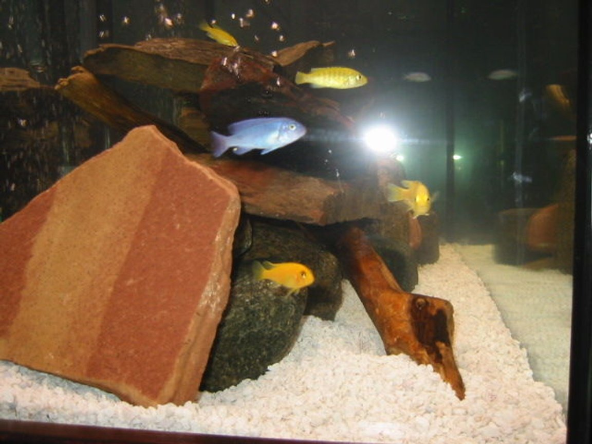 95 gallons freshwater fish tank (mostly fish and non-living decorations) - cichlid tank with field rocks and driftwood