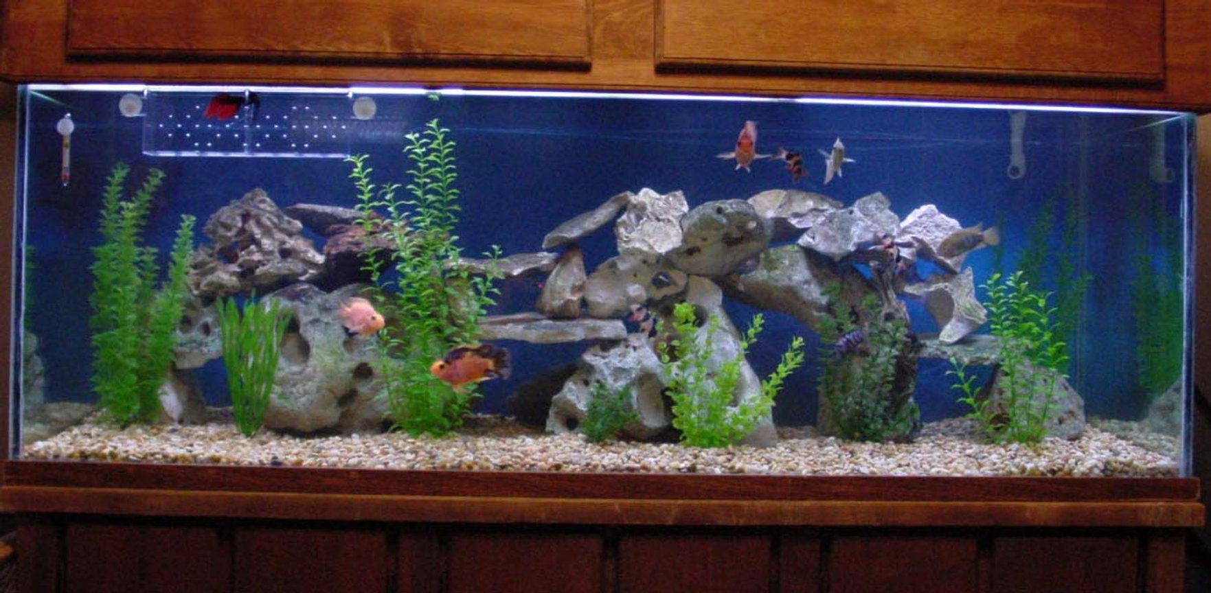 200 gallons freshwater fish tank (mostly fish and non-living decorations) - Central & South American Community!