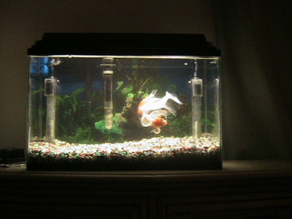 10 gallons freshwater fish tank (mostly fish and non-living decorations) - George, the family pet. He is a 6 year old Fancy tail Gold fish rescued from a pirana owner. He is trained to eat from human hand and likes his belly rubbed.