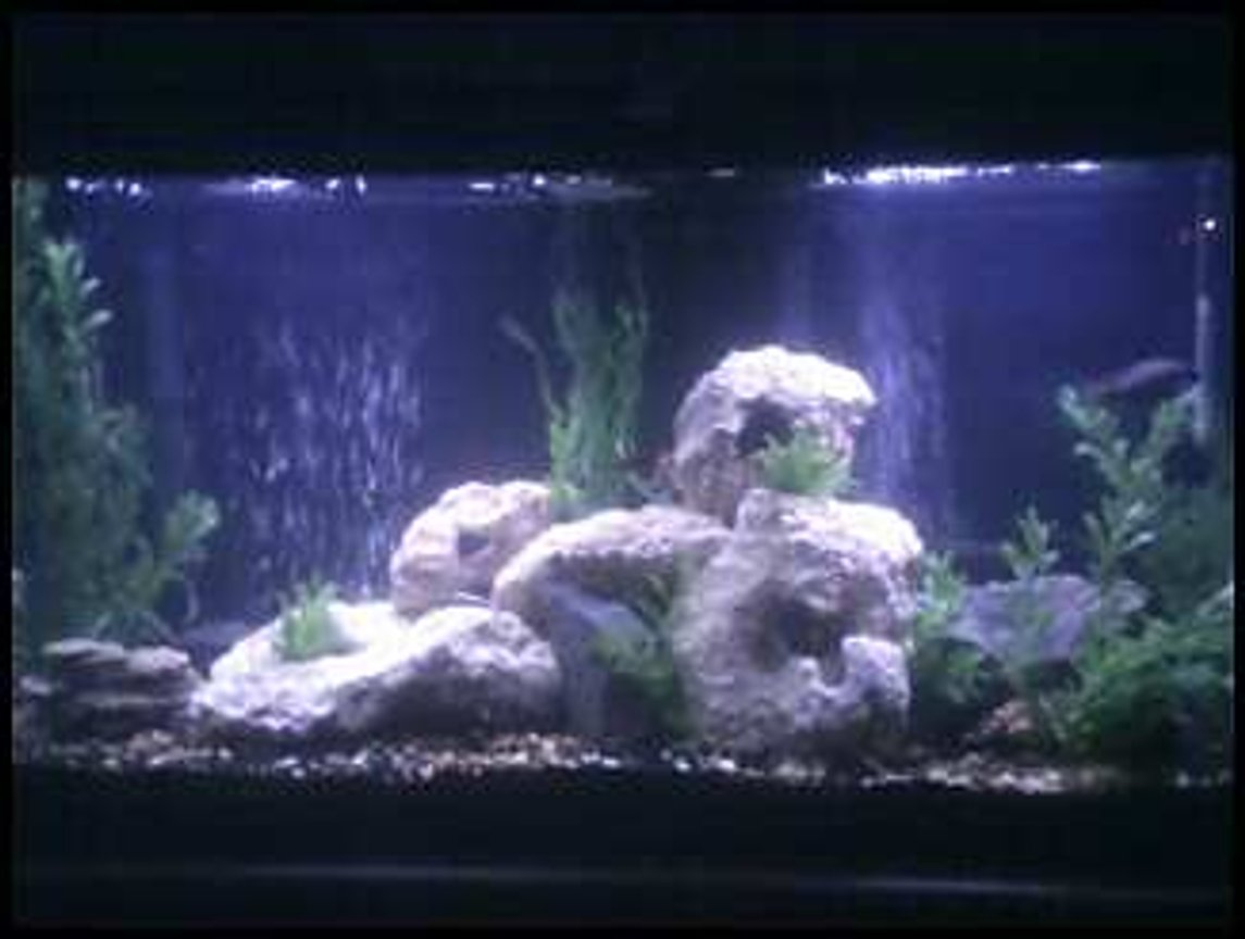 55 gallons freshwater fish tank (mostly fish and non-living decorations) - my 55 gal Tank Currently holds a mix of Cichlids tank