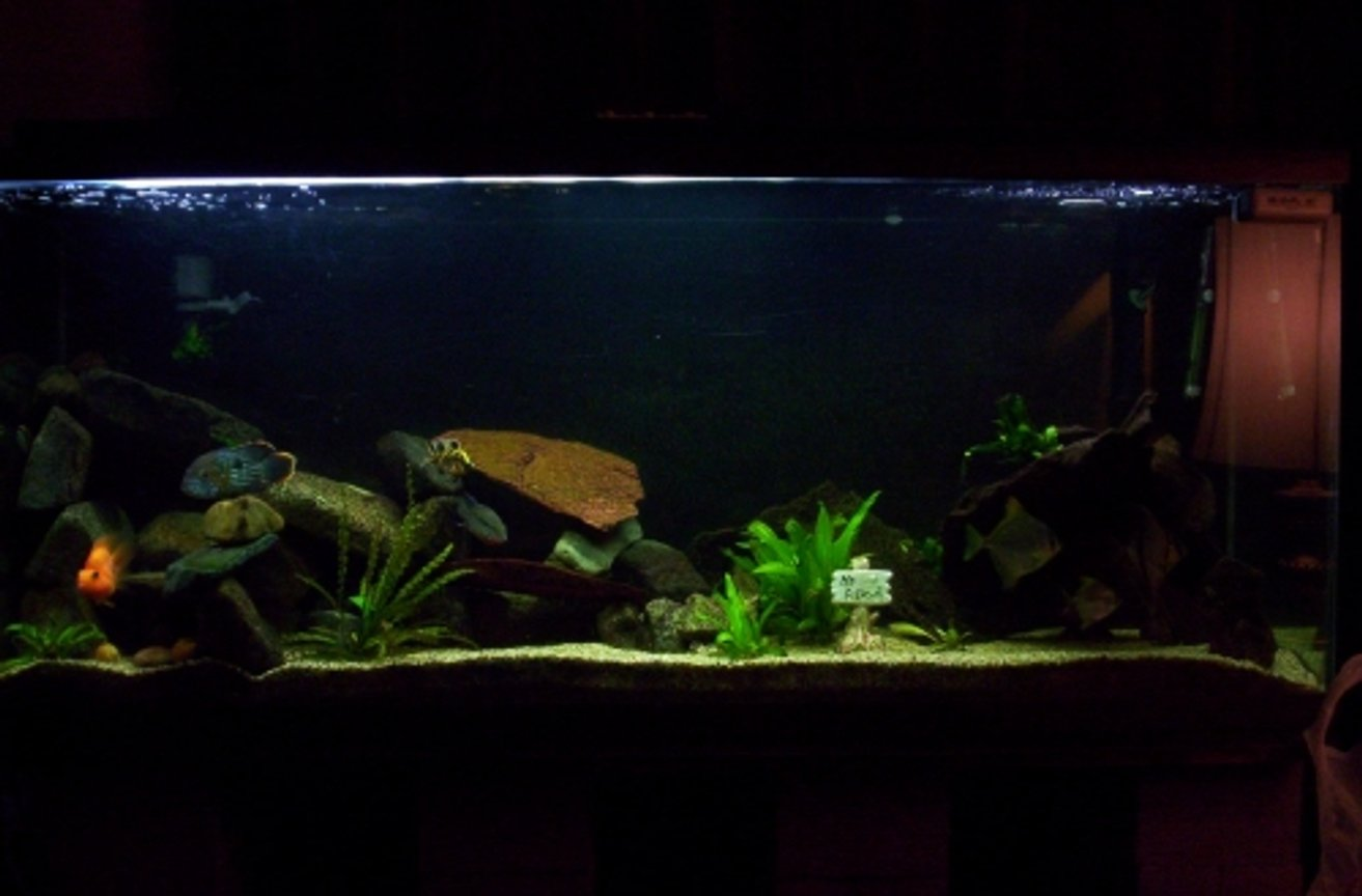 100 gallons freshwater fish tank (mostly fish and non-living decorations) - this is my 100 gallon tank, currently stocked mostly with cichlids, and some random monos, a few live plants and thats it.