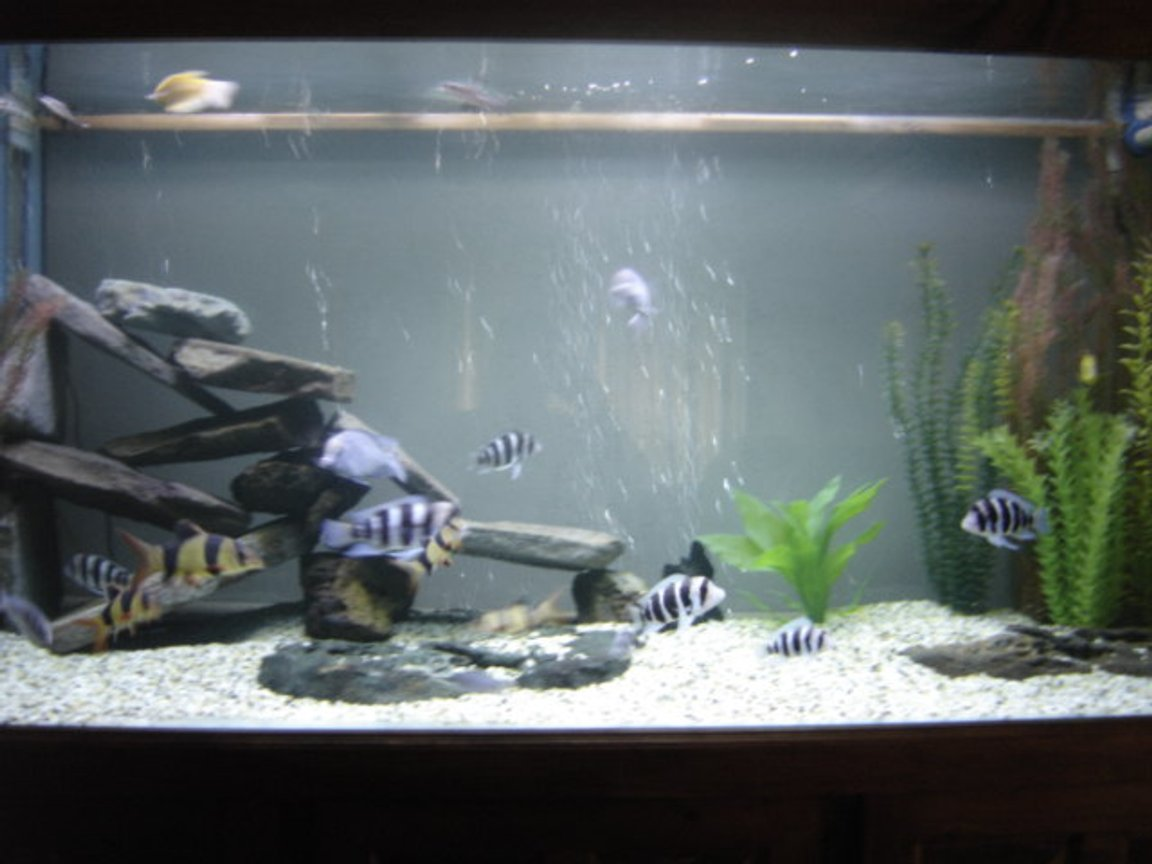 225 gallons freshwater fish tank (mostly fish and non-living decorations) - My 6' Aquarium Fontosa's. They are Awesome.
