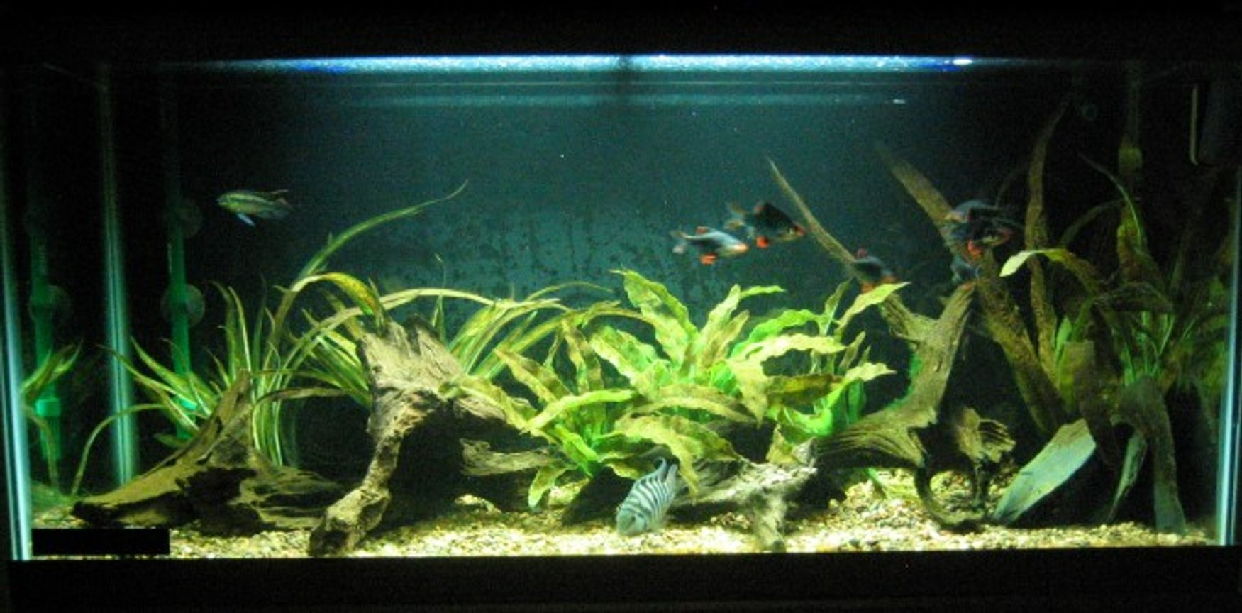 30 gallons freshwater fish tank (mostly fish and non-living decorations) - 30g long convict breeding tank