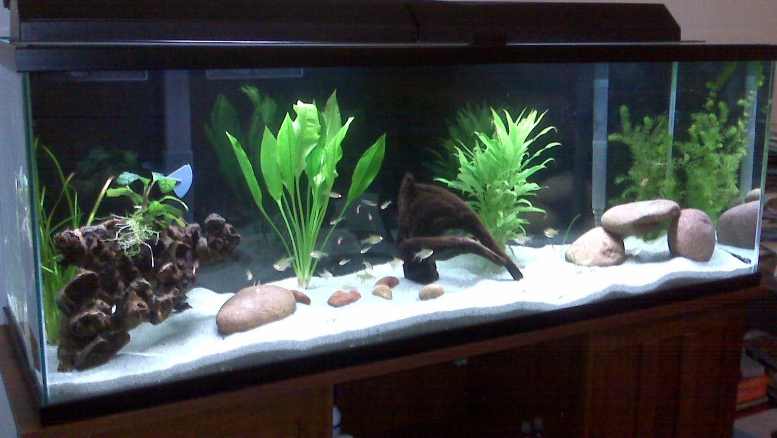 85 gallons freshwater fish tank (mostly fish and non-living decorations) - x10 baby Geophagus sp. Tapajos x15 lemon tetras x12 rummy nose tetra x1 albino bushy nose pleco 1 amazon sword some driftwood