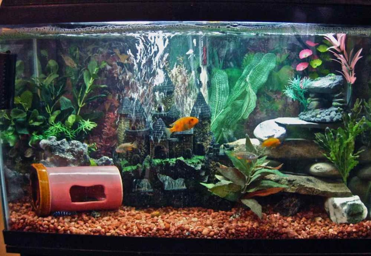50 gallons freshwater fish tank (mostly fish and non-living decorations) - mixed malawi cichlid