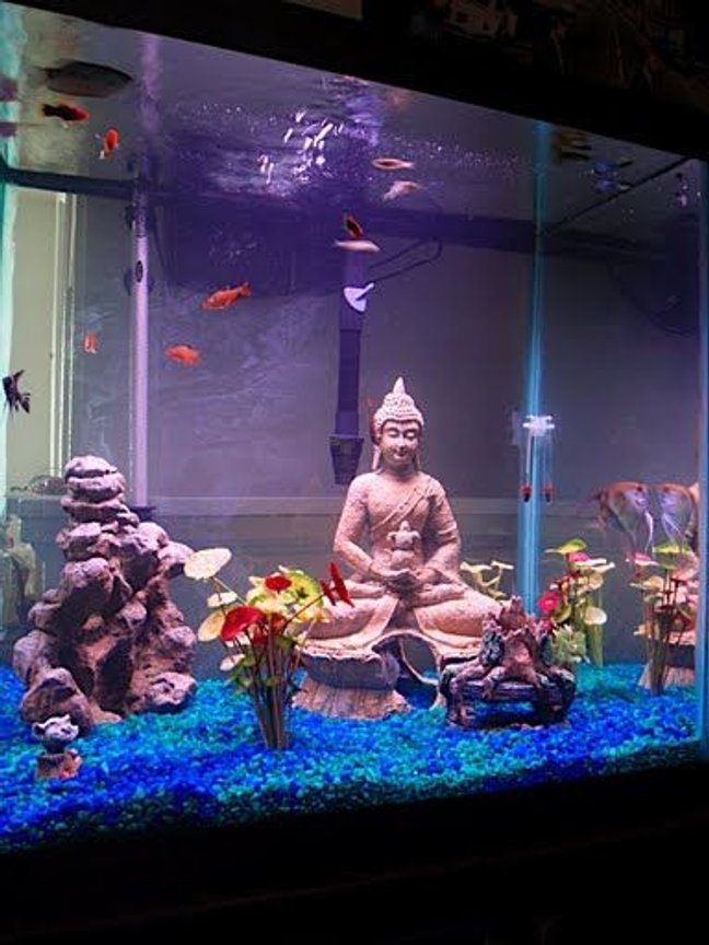 55 gallons freshwater fish tank (mostly fish and non-living decorations) - Angels, Tetras, Sharks, and The Buddha.