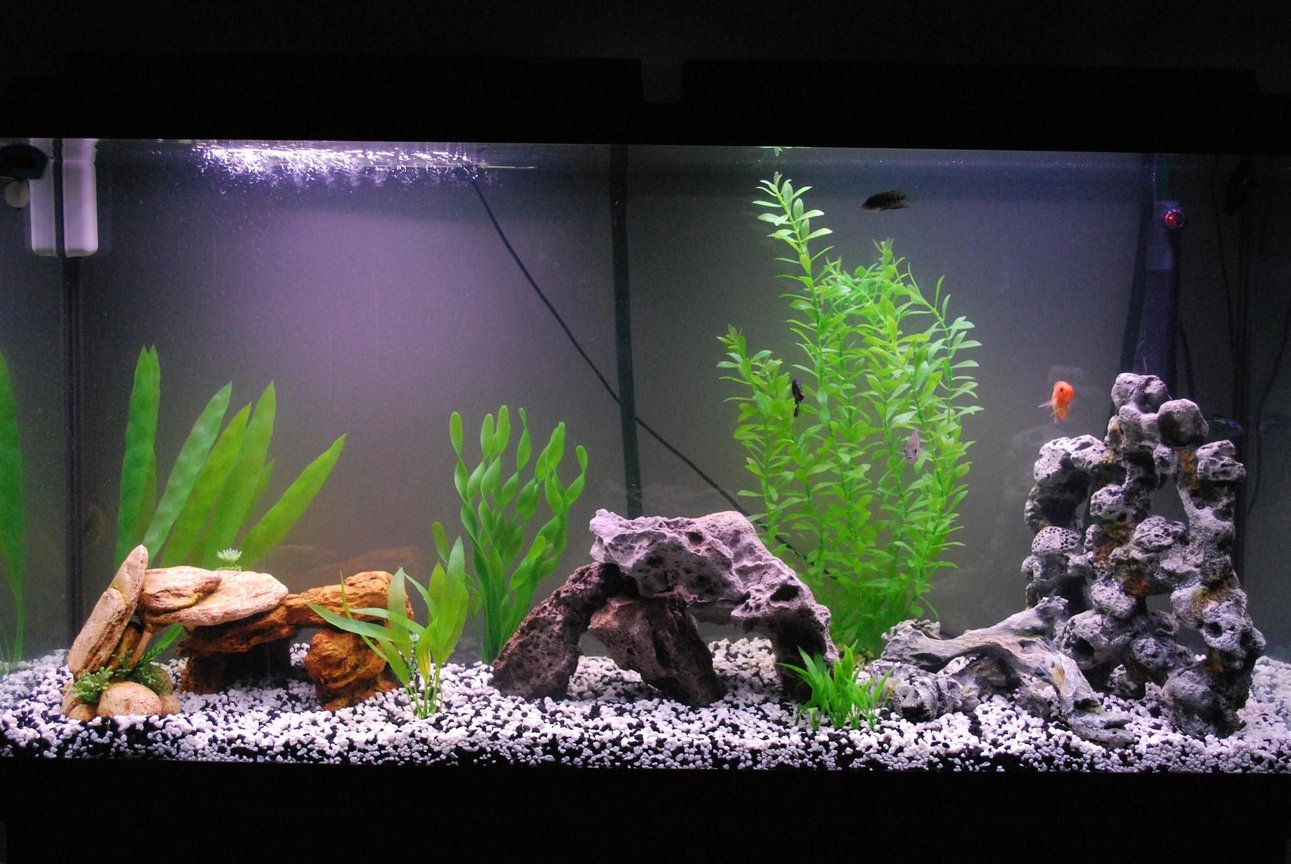 60 gallons freshwater fish tank (mostly fish and non-living decorations) - My American Cichlid Tank