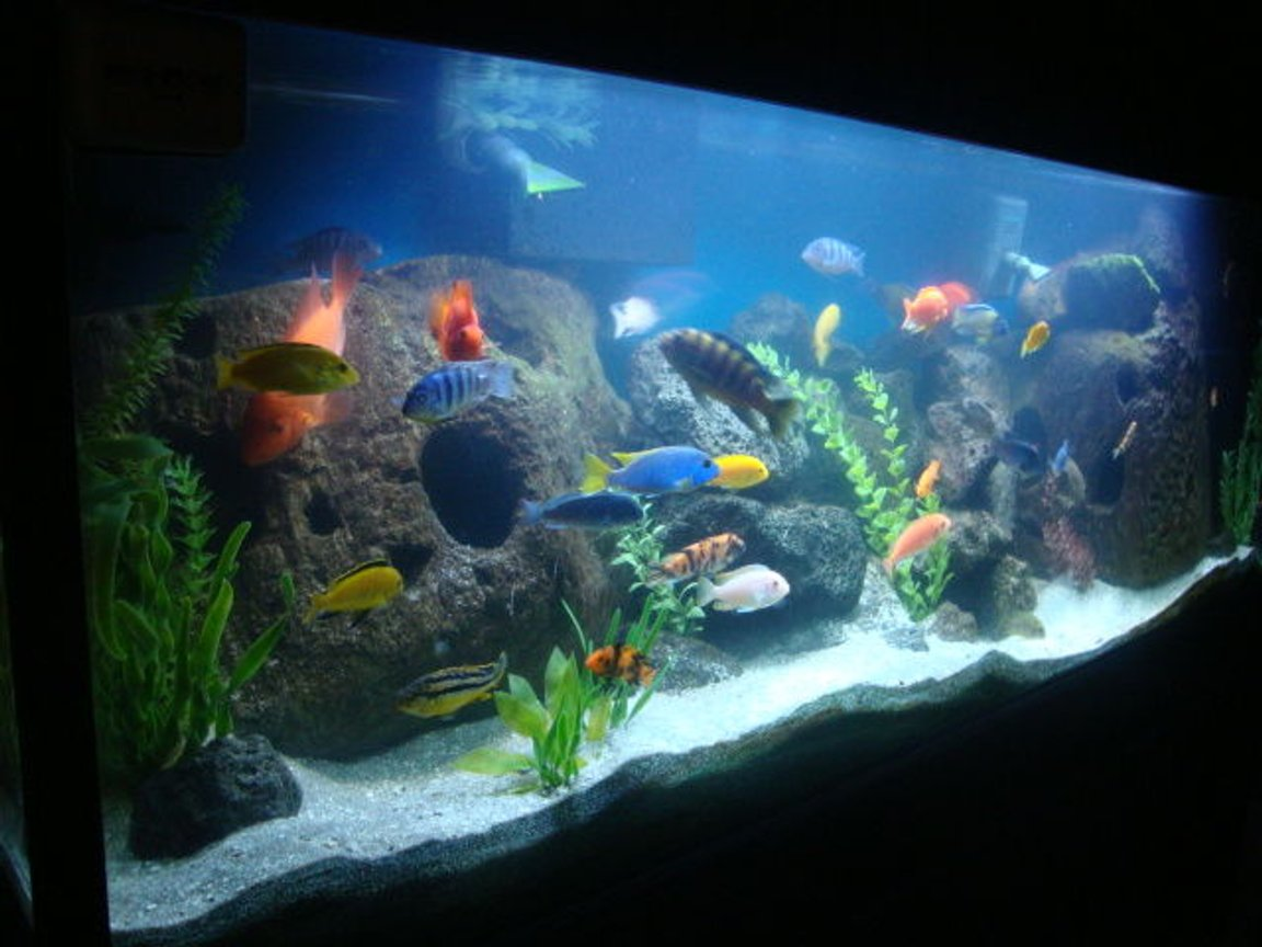 125 gallons freshwater fish tank (mostly fish and non-living decorations) - my 125 gallon cichlid tank