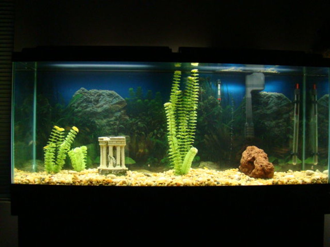 55 gallons freshwater fish tank (mostly fish and non-living decorations) - I got the tank and boring decorations from a buddy. Its a work in progress. Three Black Phantom Tetras, so far...