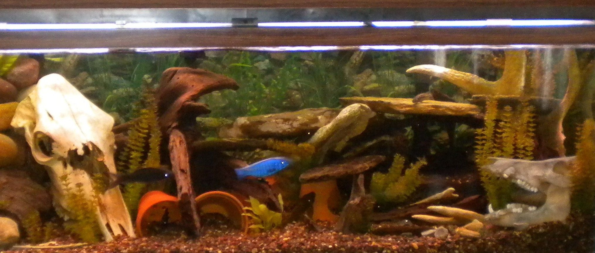 "180 gallons freshwater fish tank (mostly fish and non-living decorations) - 180 gallon 10 Rare plecos, 5 Synodontus, 5-7"" clown loaches etc.. All is listed in profile. $2000 in fish"