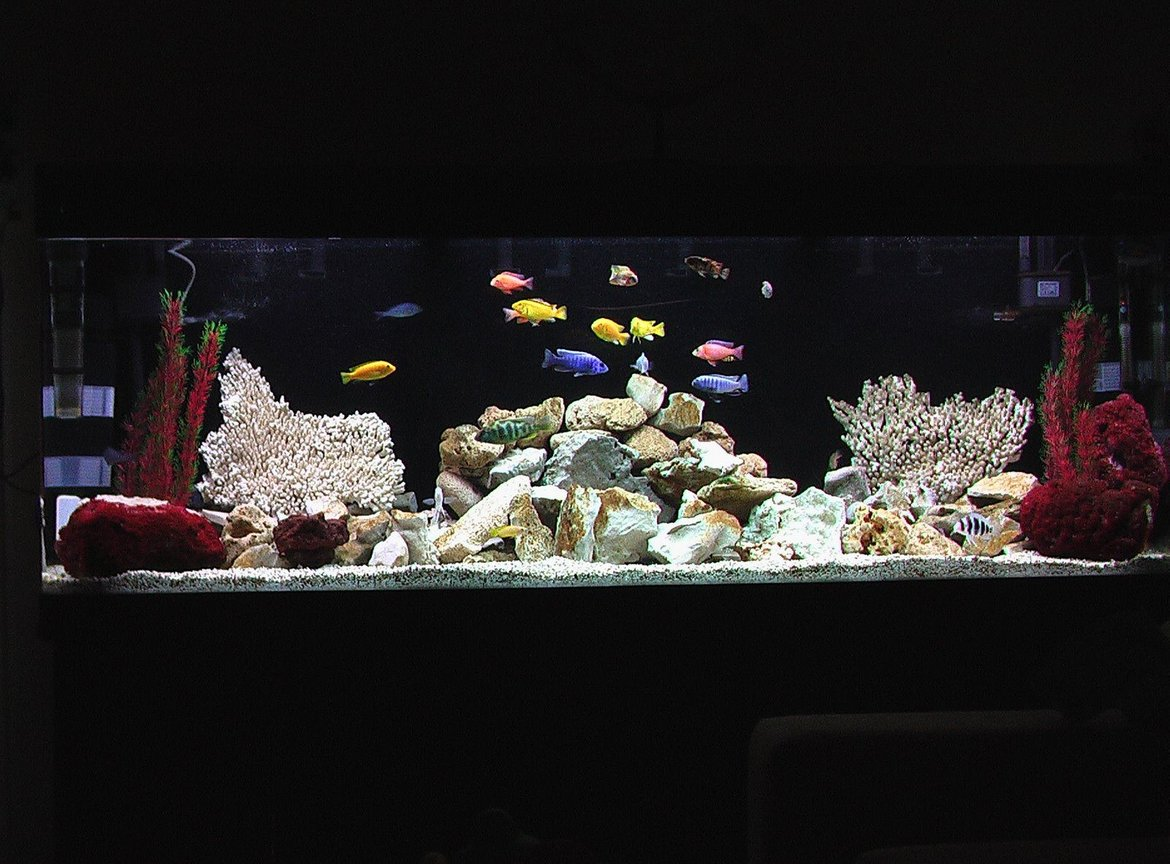 100 gallons freshwater fish tank (mostly fish and non-living decorations) - African Cichlid Tank
